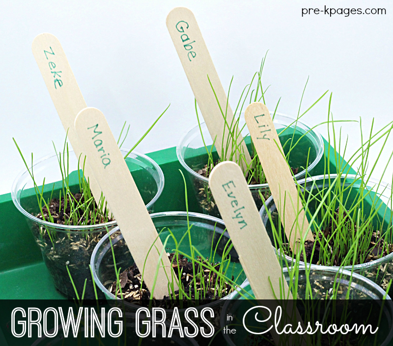 Growing Grass in Preschool