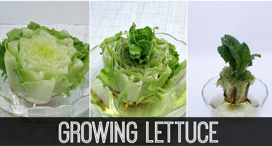 Science for Kids: Growing Lettuce Indoors