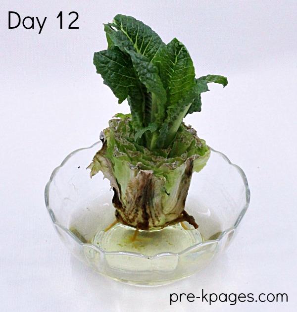 Science Experiment Regrow Lettuce