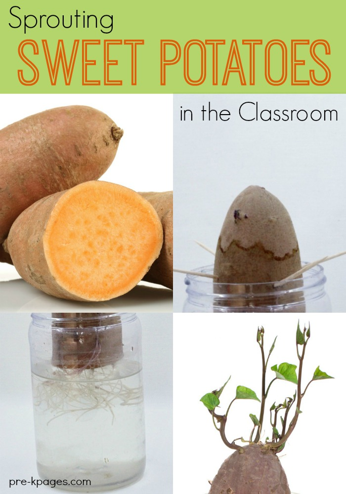potato science fair project