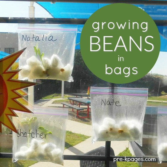 Growing Beans in Plastic Sandwich Bags