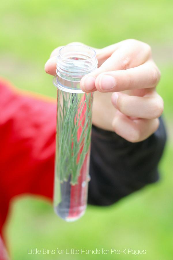 nature investigation pine needles