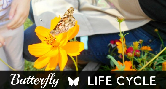 Butterfly Life Cycle in Preschool