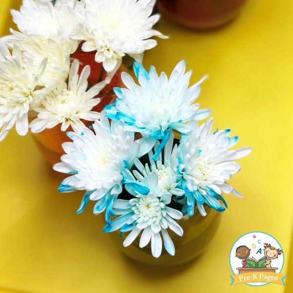 Color Changing Flowers Science Experiment Pre K Pages