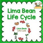 Lima Bean Life Cycle Activities for Preschool