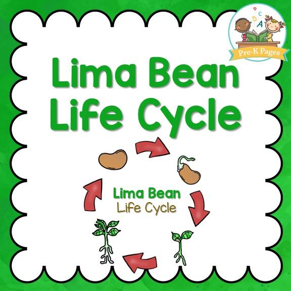 Lima Bean Life Cycle on Life Cycle Plant Kindergarten Worksheet