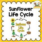 Sunflower Life Cycle Activities for Preschool