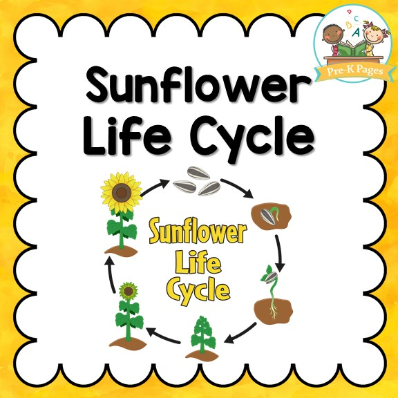Sunflower Life Cycle Pre K Pages
